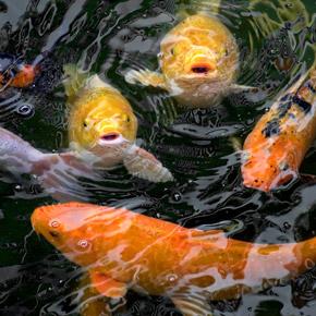 Pond Fish